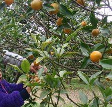 キンカン収穫体験 申込 令和2年12月14日(月曜日)まで必着 イメージ画像