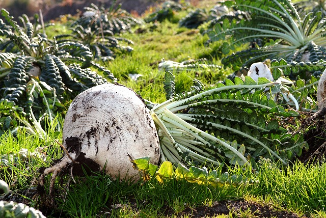 桜島大根の収穫体験 イメージ画像